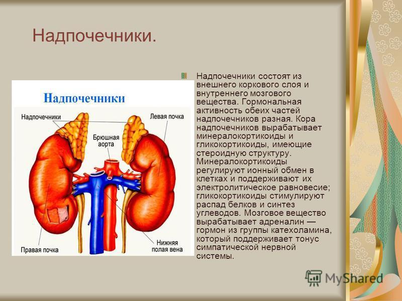 Надпочечники. Надпочечники состоят из внешнего коркового слоя и внутреннего мозгового вещества. Гормональная активность обеих частей надпочечников разная. Кора надпочечников вырабатывает минералокортикоиды и гликокортикоиды, имеющие стероидную структ