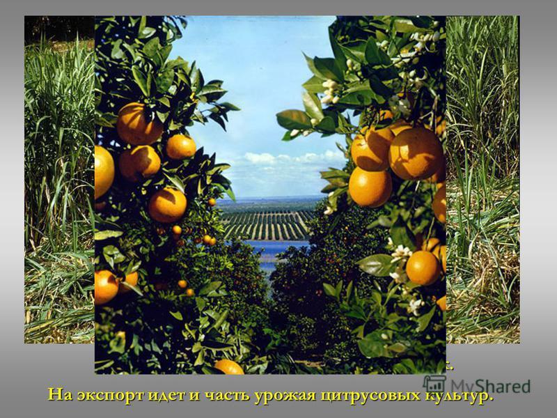 Также выращивают сахарный тростник. На экспорт идет и часть урожая цитрусовых культур.