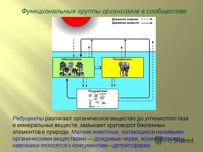 Функциональные группы организмов в сообществе Редуценты разлагают органическое вещество до углекислого газа и минеральных веществ, замыкают круговорот биогенных элементов в природе. Мелкие животные, питающиеся неживыми органическими веществами дождев