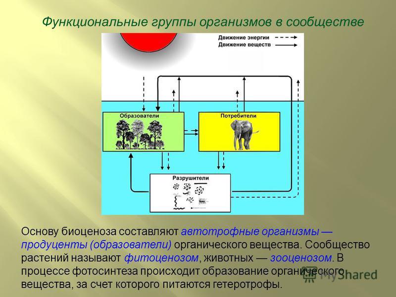 Функциональные группы организмов в сообществе Основу биоценоза составляют автотрофные организмы продуценты (образователи) органического вещества. Сообщество растений называют фитоценозом, животных зооценозом. В процессе фотосинтеза происходит образов