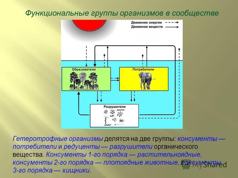 Функциональные группы организмов в сообществе Гетеротрофные организмы делятся на две группы: консументы потребители и редуценты разрушители органического вещества. Консументы 1-го порядка растительноядные, консументы 2-го порядка плотоядные животные,