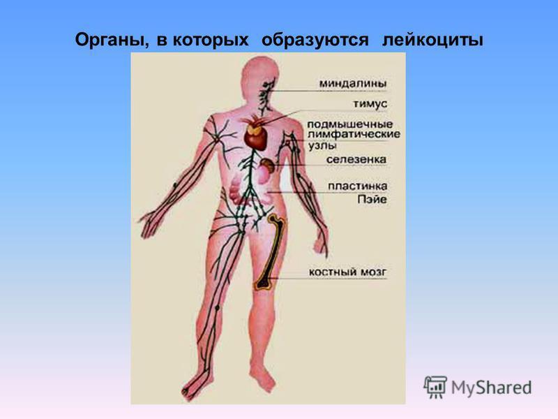 Органы, в которых образуются лейкоциты