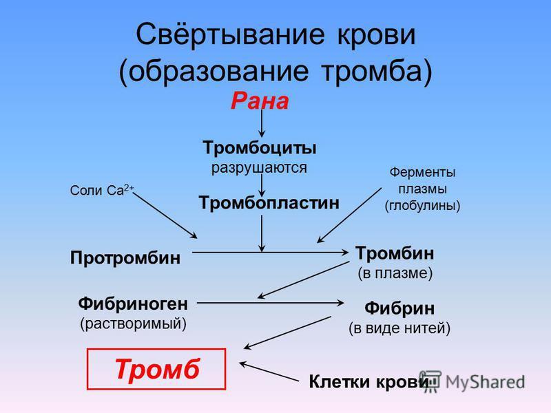Свёртывание крови (образование тромба) Рана Тромбоциты разрушаются Тромбопластин Соли Са 2+ Ферменты плазмы (глобулины) Протромбин Тромбин (в плазме) Фибриноген (растворимый) Фибрин (в виде нитей) Тромб Клетки крови