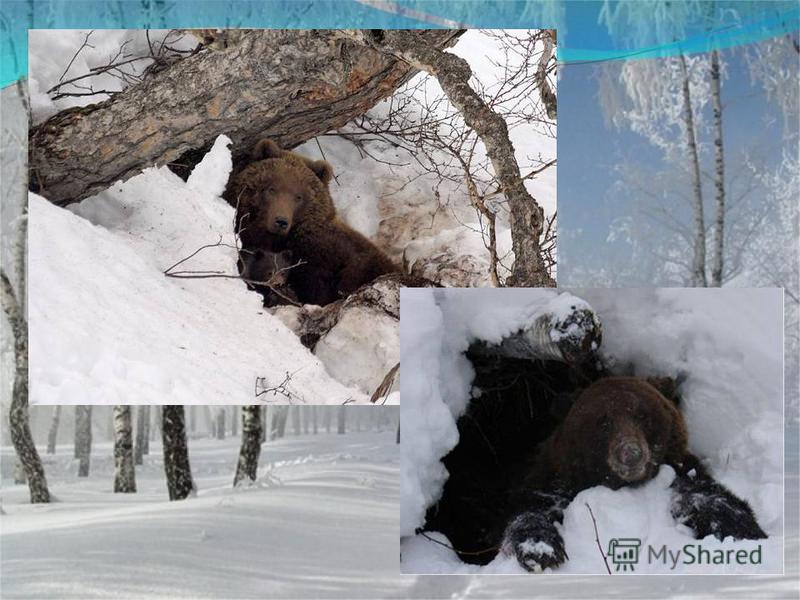 Летом ходит без дороги Возле сосен и берёз, А зимой он спит в берлоге, От мороза прячет нос ?