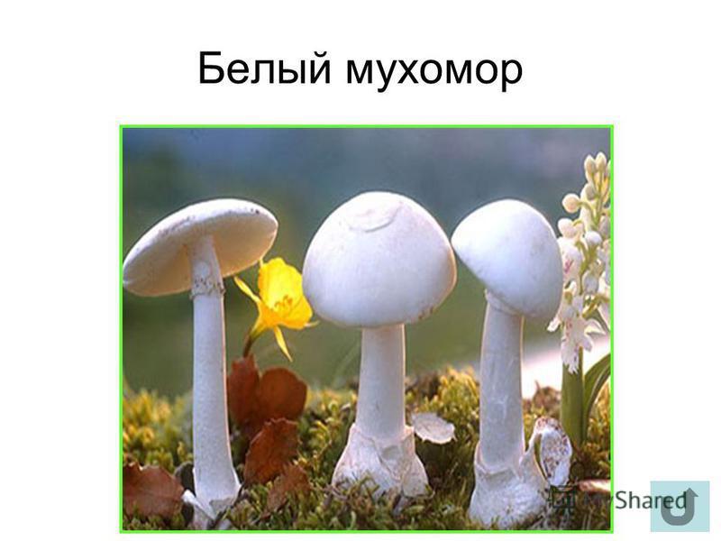 Белый мухомор