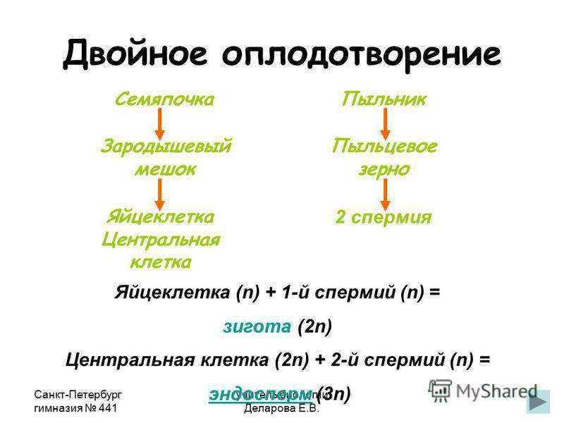 Санкт-Петербург гимназия 441 учитель биологии Деларова Е.В. Двойное оплодотворение Яйцеклетка Центральная клетка Семяпочка Пыльник Пыльцевое зерно 2 спермия Зародышевый мешок Яйцеклетка (n) + 1-й спермий (n) = зигота (2n) Центральная клетка (2n) + 2-