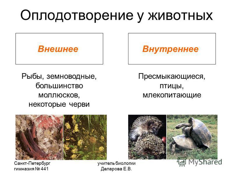 Санкт-Петербург гимназия 441 учитель биологии Деларова Е.В. Оплодотворение у животных Внешнее Внутреннее Рыбы, земноводные, большинство моллюсков, некоторые черви Пресмыкающиеся, птицы, млекопитающие