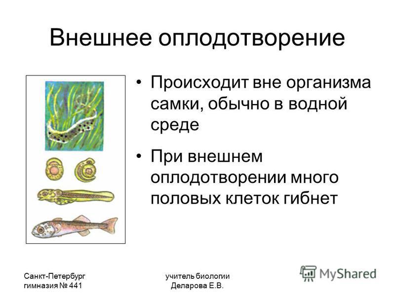 Санкт-Петербург гимназия 441 учитель биологии Деларова Е.В. Внешнее оплодотворение Происходит вне организма самки, обычно в водной среде При внешнем оплодотворении много половых клеток гибнет