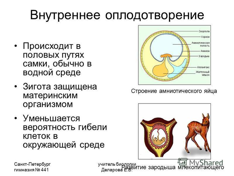 Санкт-Петербург гимназия 441 учитель биологии Деларова Е.В. Внутреннее оплодотворение Происходит в половых путях самки, обычно в водной среде Зигота защищена материнским организмом Уменьшается вероятность гибели клеток в окружающей среде Строение амн