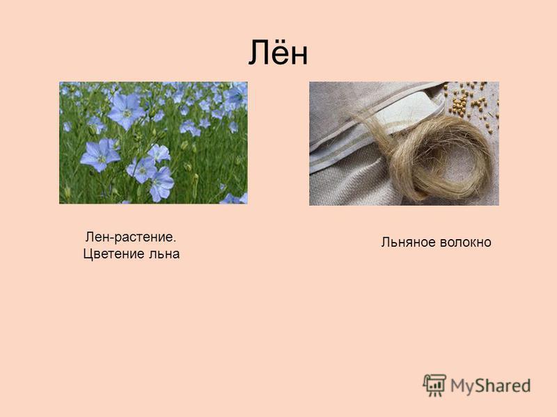 Лён Льняное волокно Лен-растение. Цветение льна