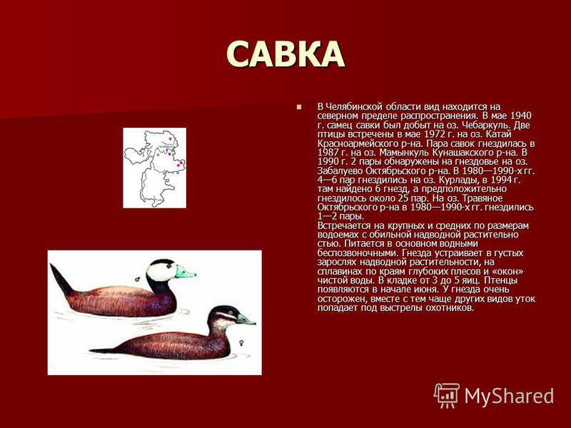 САВКА В Челябинской области вид находится на северном пределе распространения. В мае 1940 г. самец савки был добыт на оз. Чебаркуль. Две птицы встречены в мае 1972 г. на оз. Катай Красноармейского р-на. Пара савок гнездилась в 1987 г. на оз. Мамынкул