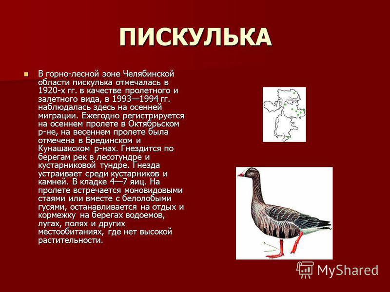 ПИСКУЛЬКА В горно-лесной зоне Челябинской области пискулька отмечалась в 1920-х гг. в качестве пролетного и залетного вида, в 19931994 гг. наблюдалась здесь на осенней миграции. Ежегодно регистрируется на осеннем пролете в Октябрьском р-не, на весенн