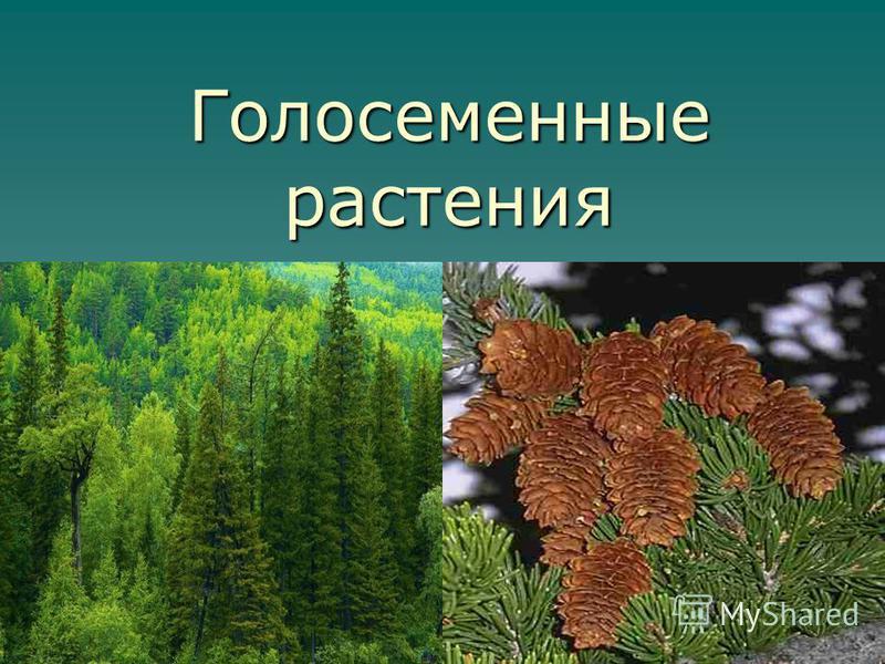 Голосеменные растения 1