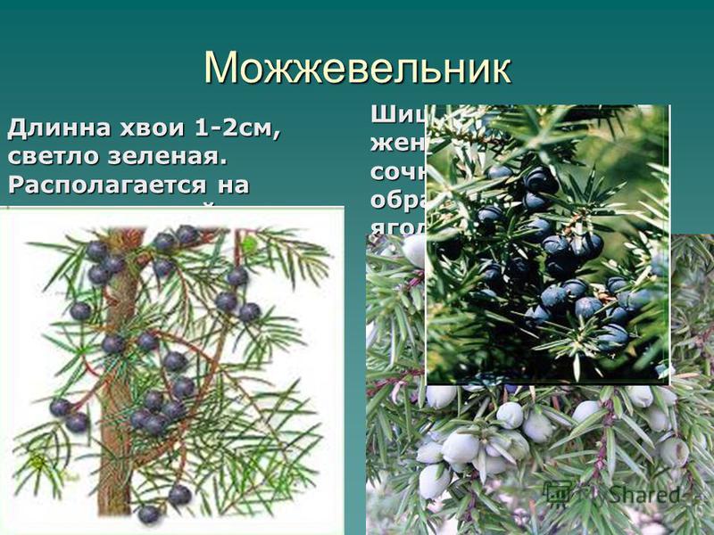 Можжевельник Длинна хвои 1-2 см, светло зеленая. Располагается на ветке по одной хвоинки. Шишки короткие, женские мясисто- сочные, срастаясь образуют шишка – ягоду. Не плотно сомкнутые чешуи. 6
