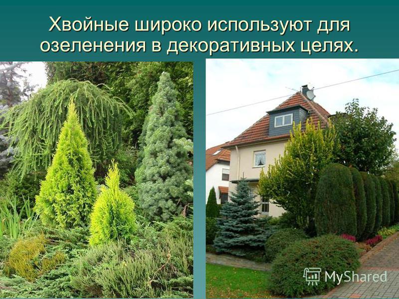 9 Хвойные широко используют для озеленения в декоративных целях.
