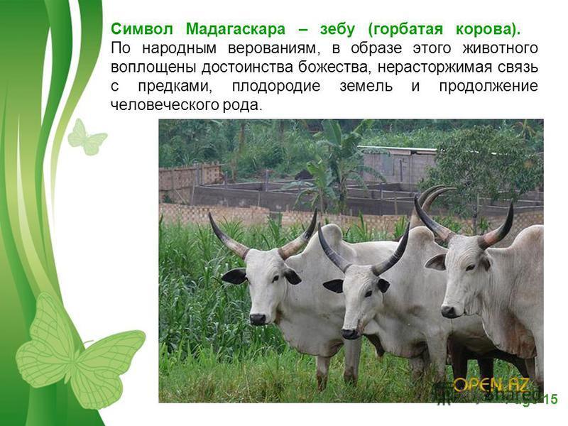 Free Powerpoint TemplatesPage 15 Символ Мадагаскара – зебу (горбатая корова). По народным верованиям, в образе этого животного воплощены достоинства божества, нерасторжимая связь с предками, плодородие земель и продолжение человеческого рода.