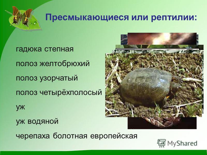Пресмыкающиеся или рептилии: гадюка степная полоз желтобрюхий полоз узорчатый полоз четырёхполосый уж уж водяной черепаха болотная европейская