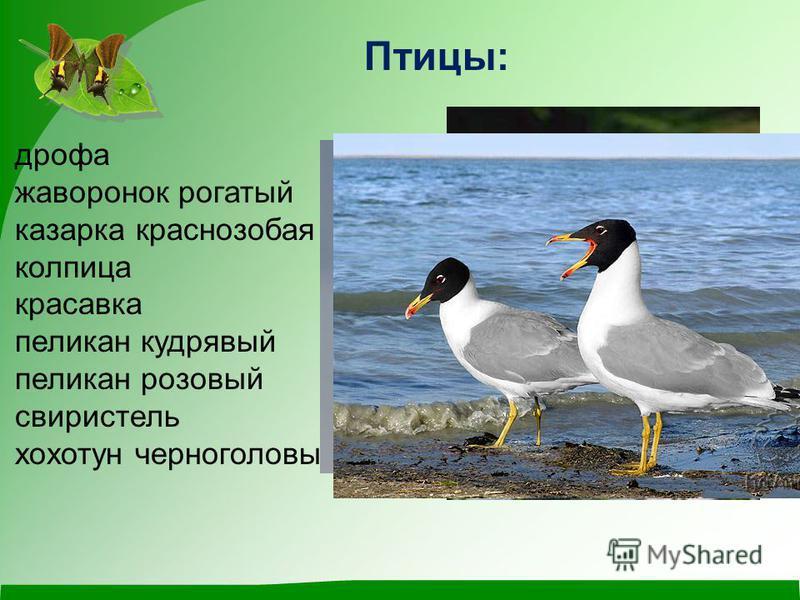 Птицы: дрофа жаворонок рогатый казарка краснозобая колпица красавка пеликан кудрявый пеликан розовый свиристель хохотун черноголовый
