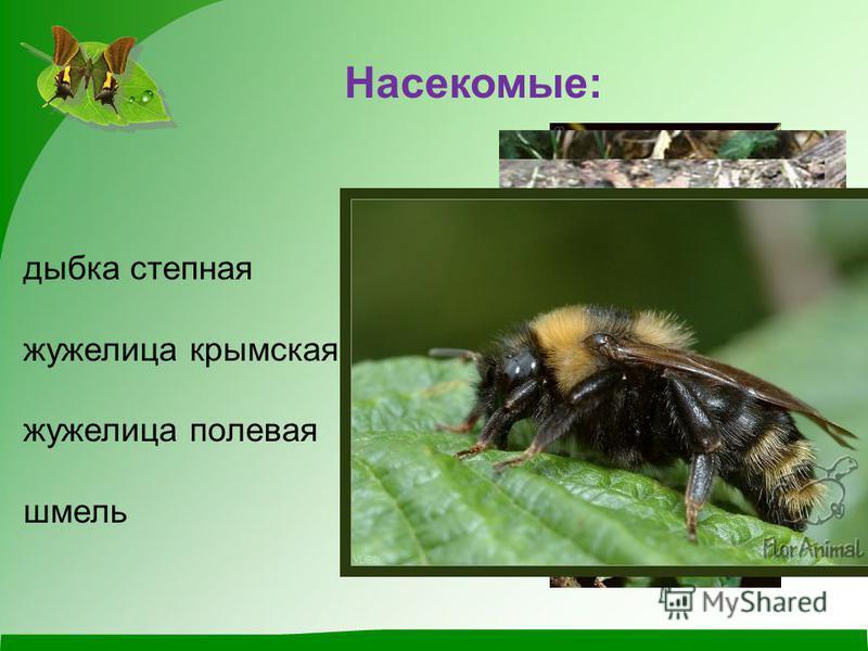 Насекомые: дыбка степная жужелица крымская жужелица полевая шмель