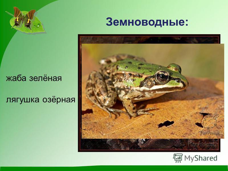 Земноводные: жаба зелёная лягушка озёрная