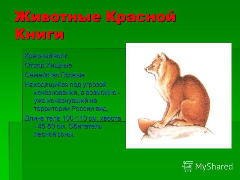 Животные Красной Книги Уссурийский пятнистый олень Отряд Парнокопытные Семейство Оленьи Очень редкий, узкоареальный подвид, находящийся под угрозой исчезновения. Длина тела 90-118 см.