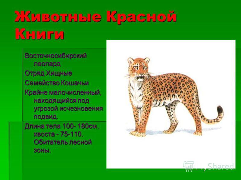 Животные Красной Книги Красный волк Отряд Хищные Семейство Псовые Находящийся под угрозой исчезновения, а возможно - уже исчезнувший на территории России вид. Длина тела 100-110 см, хвоста - 45-50 см. Обитатель лесной зоны.