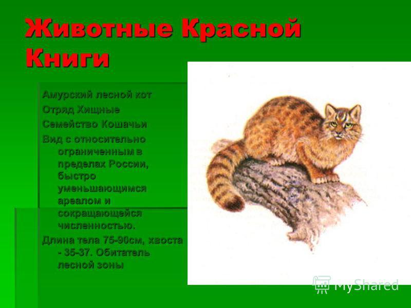 Животные Красной Книги Восточносибирский леопард Отряд Хищные Семейство Кошачьи Крайне малочисленный, находящийся под угрозой исчезновения подвид. Длина тела 100- 180 см, хвоста - 75-110. Обитатель лесной зоны.