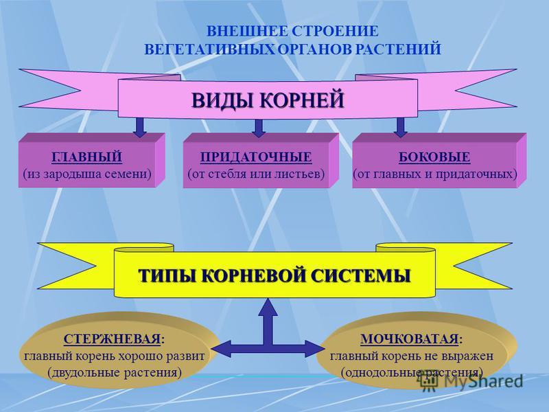 ВНЕШНЕЕ СТРОЕНИЕ ВЕГЕТАТИВНЫХ ОРГАНОВ РАСТЕНИЙ ГЛАВНЫЙ (из зародыша семени) ПРИДАТОЧНЫЕ (от стебля или листьев) БОКОВЫЕ (от главных и придаточных) ТИПЫ КОРНЕВОЙ СИСТЕМЫ СТЕРЖНЕВАЯ: главный корень хорошо развит (двудольные растения) МОЧКОВАТАЯ: главны