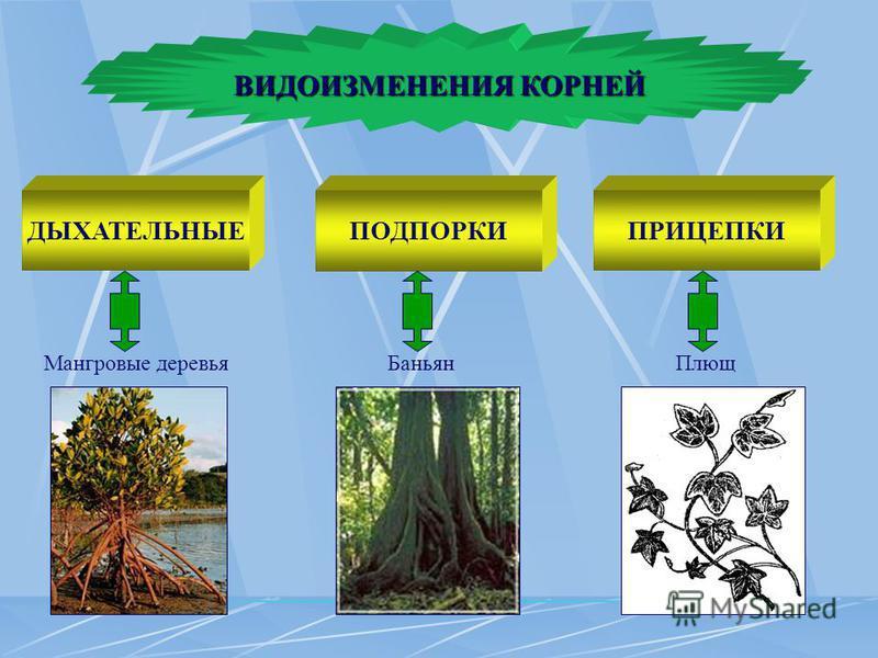 ВИДОИЗМЕНЕНИЯ КОРНЕЙ Мангровые деревья ДЫХАТЕЛЬНЫЕ Баньян ПОДПОРКИ Плющ ПРИЦЕПКИ