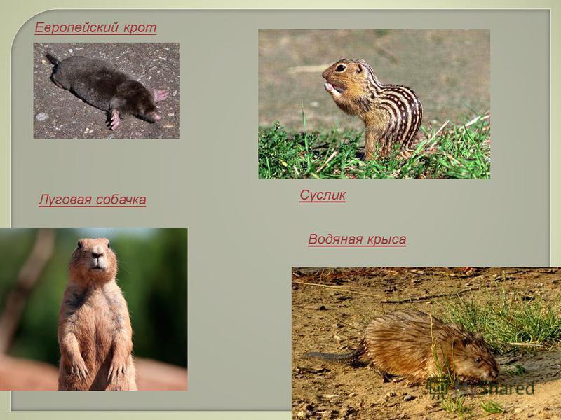 Европейский крот Луговая собачка Водяная крыса Суслик