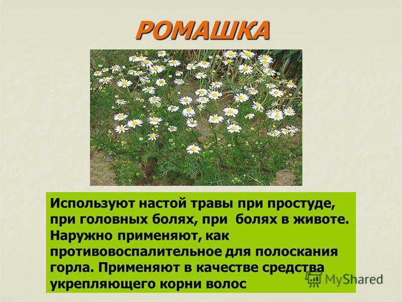 РОМАШКА Используют настой травы при простуде, при головных болях, при болях в животе. Наружно применяют, как противовоспалительное для полоскания горла. Применяют в качестве средства укрепляющего корни волос