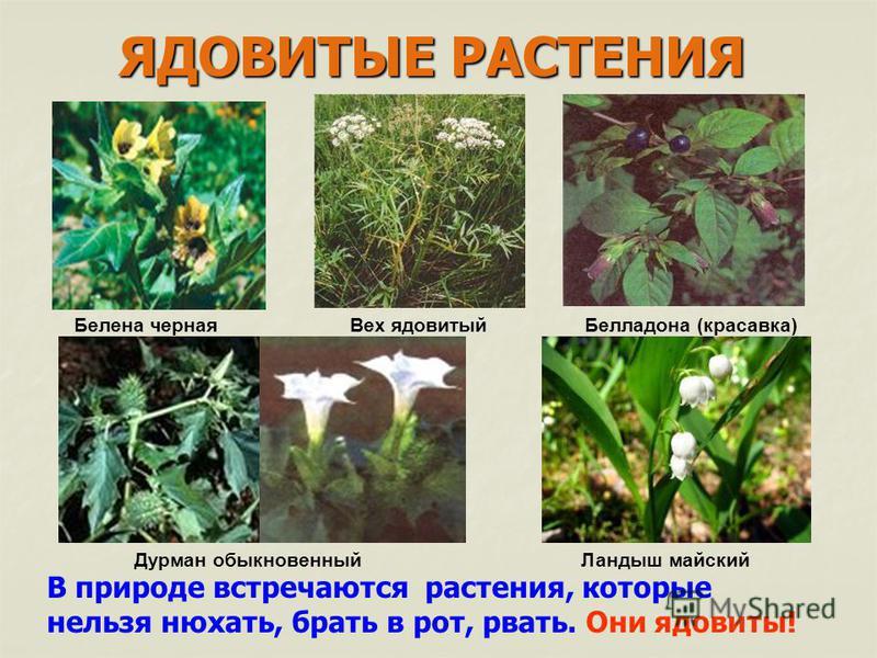 В природе встречаются растения, которые нельзя нюхать, брать в рот, рвать. Они ядовиты! ЯДОВИТЫЕ РАСТЕНИЯ Белена черная Вех ядовитый Белладона (красавка) Дурман обыкновенный Ландыш майский