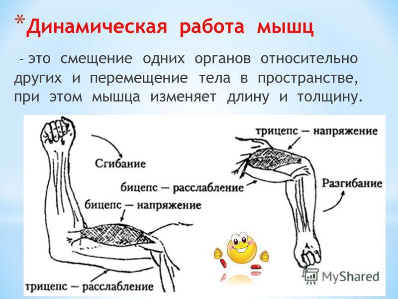 * Динамическая работа мышц – это смещение одних органов относительно других и перемещение тела в пространстве, при этом мышца изменяет длину и толщину.
