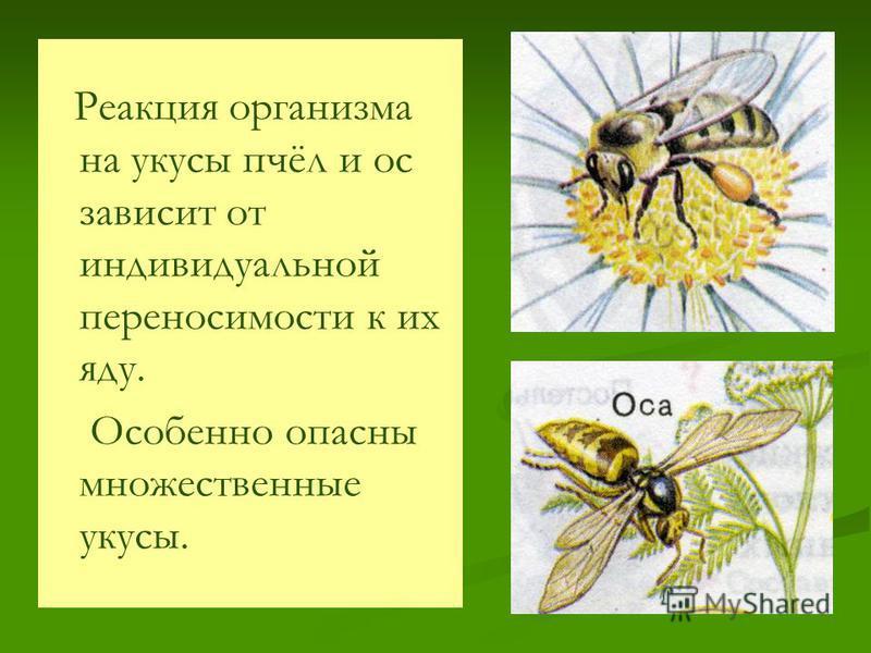 Реакция организма на укусы пчёл и ос зависит от индивидуальной переносимости к их яду. Особенно опасны множественные укусы.
