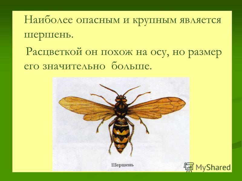 Наиболее опасным и крупным является шершень. Расцветкой он похож на осу, но размер его значительно больше.