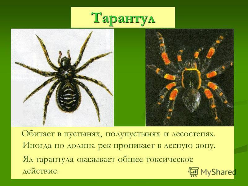 Тарантул Обитает в пустынях, полупустынях и лесостепях. Иногда по долина рек проникает в лесную зону. Яд тарантула оказывает общее токсическое действие.