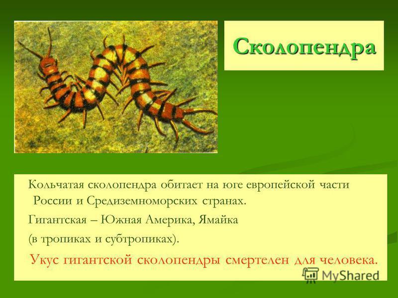 Сколопендра Кольчатая сколопендра обитает на юге европейской части России и Средиземноморских странах. Гигантская – Южная Америка, Ямайка (в тропиках и субтропиках). Укус гигантской сколопендры смертелен для человека.