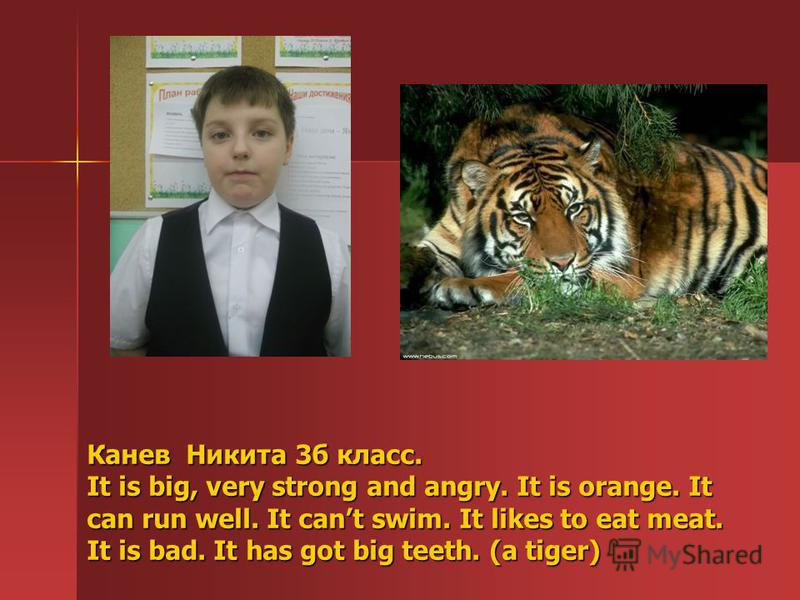 Канев Никита 3б класс. It is big, very strong and angry. It is orange. It can run well. It cant swim. It likes to eat meat. It is bad. It has got big teeth. (a tiger)