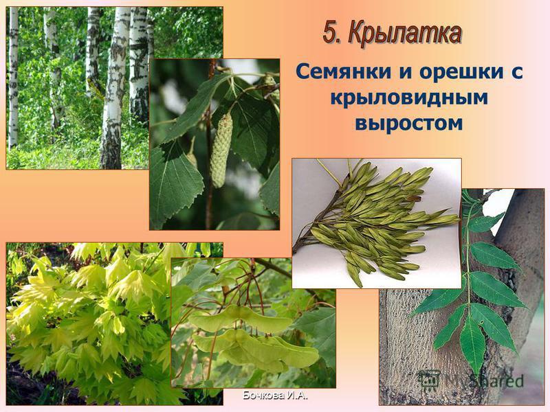 Бочкова И.А. Семянки и орешки с крыловидным выростом