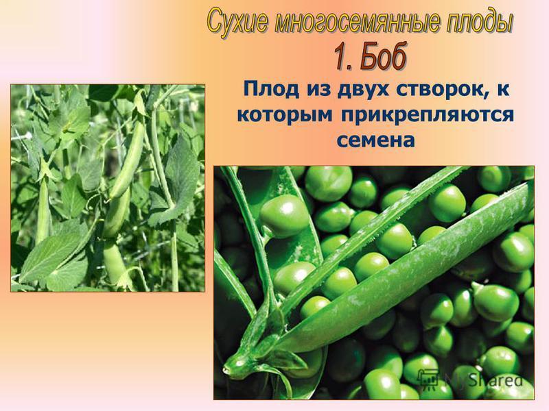 Бочкова И.А. Плод из двух створок, к которым прикрепляются семена