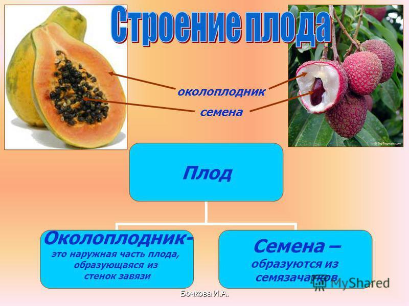 Бочкова И.А. Плод Околоплодник- это наружная часть плода, образующаяся из стенок завязи Семена – образуются из семязачатков околоплодник семена