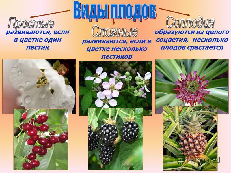Бочкова И.А. развиваются, если в цветке один пестик развиваются, если в цветке несколько пестиков образуются из целого соцветия, несколько плодов срастается