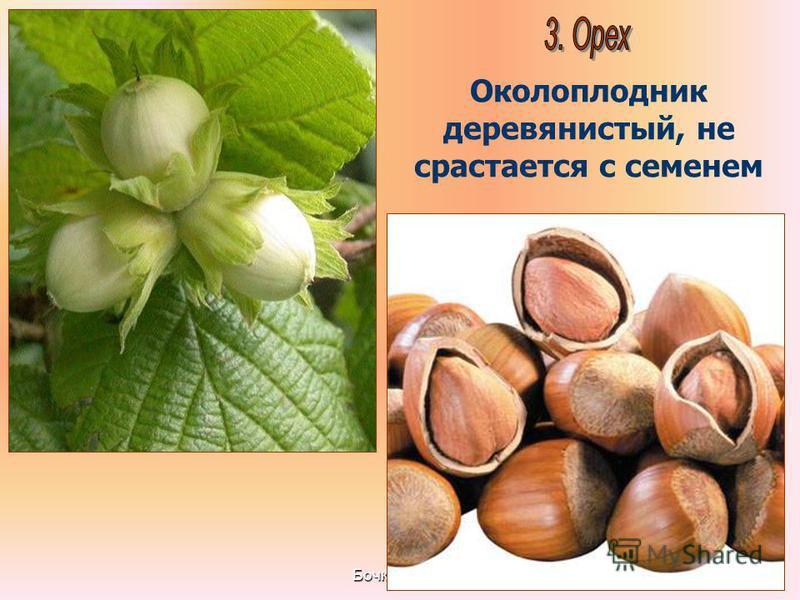Бочкова И.А. Околоплодник деревянистый, не срастается с семенем
