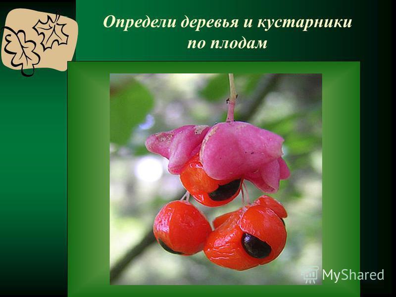 Определи деревья и кустарники по плодам