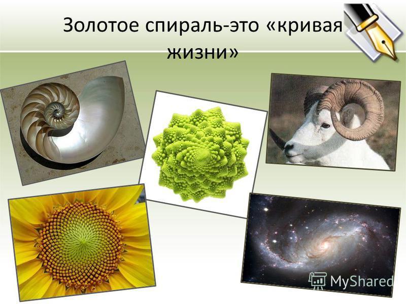 Золотое спираль-это «кривая жизни»