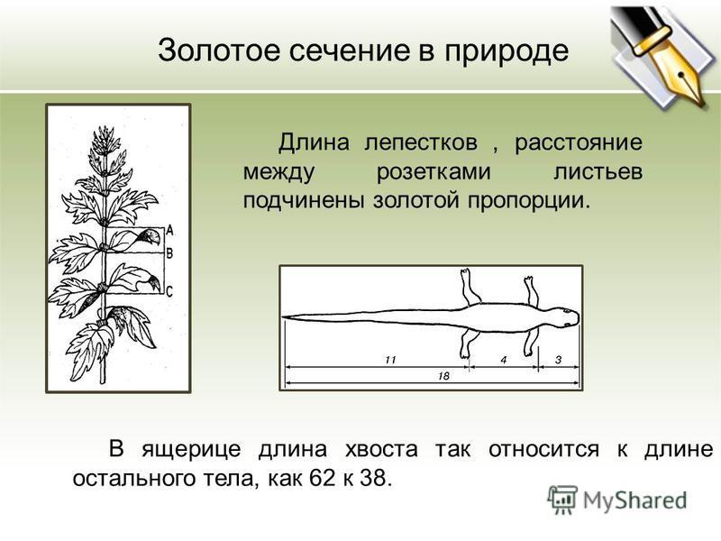Длина лепестков, расстояние между розетками листьев подчинены золотой пропорции. Золотое сечение в природе В ящерице длина хвоста так относится к длине остального тела, как 62 к 38.