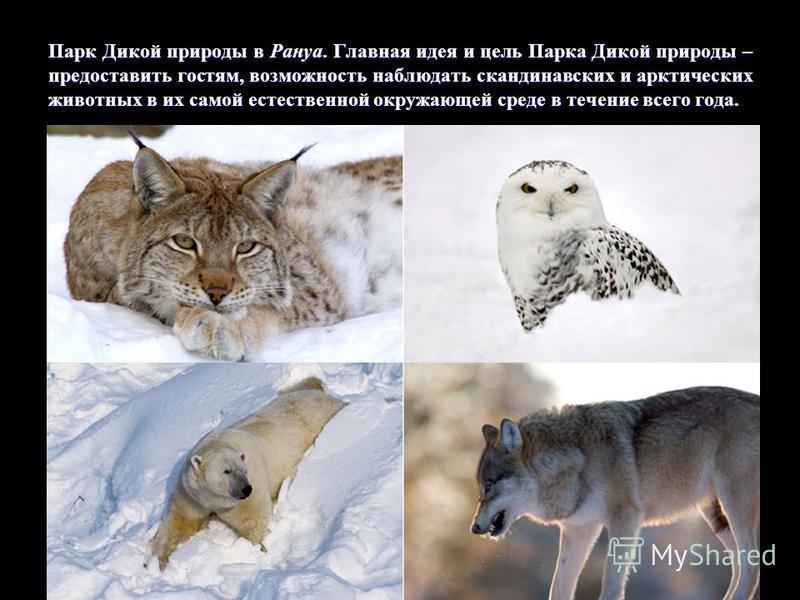Парк Дикой природы в Рануа. Главная идея и цель Парка Дикой природы – предоставить гостям, возможность наблюдать скандинавских и арктических животных в их самой естественной окружающей среде в течение всего года.