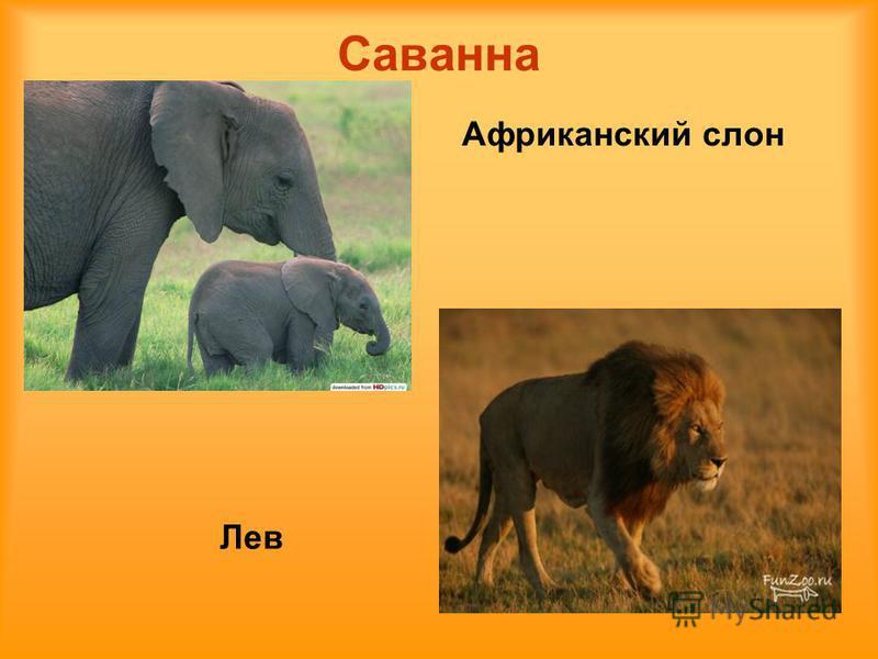 Саванна Лев Аафриканский слон