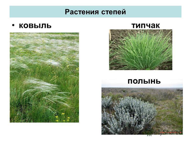 Растения степей ковыль типчак полынь