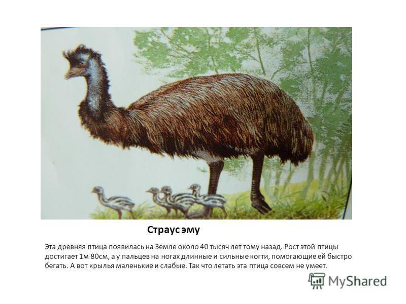 Страус эму Эта древняя птица появилась на Земле около 40 тысяч лет тому назад. Рост этой птицы достигает 1 м 80 см, а у пальцев на ногах длинные и сильные когти, помогающие ей быстро бегать. А вот крылья маленькие и слабые. Так что летать эта птица с